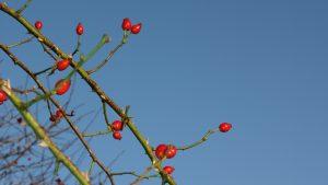 Rosehips in Winter