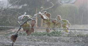 frozen plant in winter